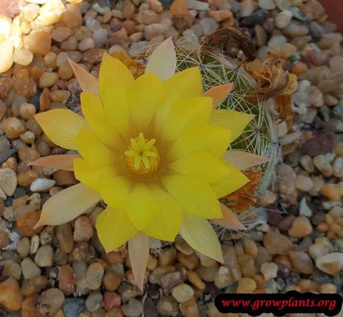 Mammillaria sphaerica cactus care