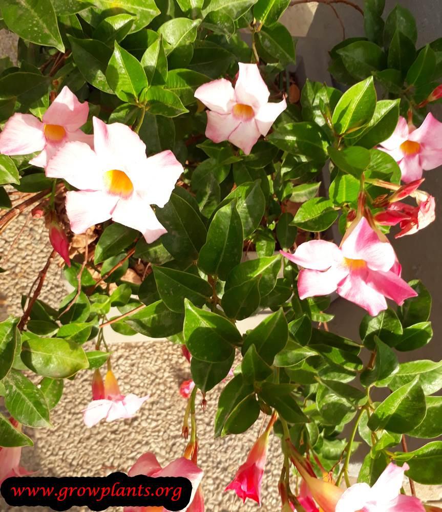 Growing Mandevilla sanderi