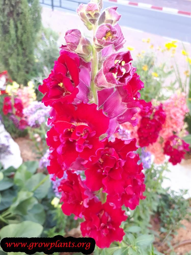 Matthiola incana flowers