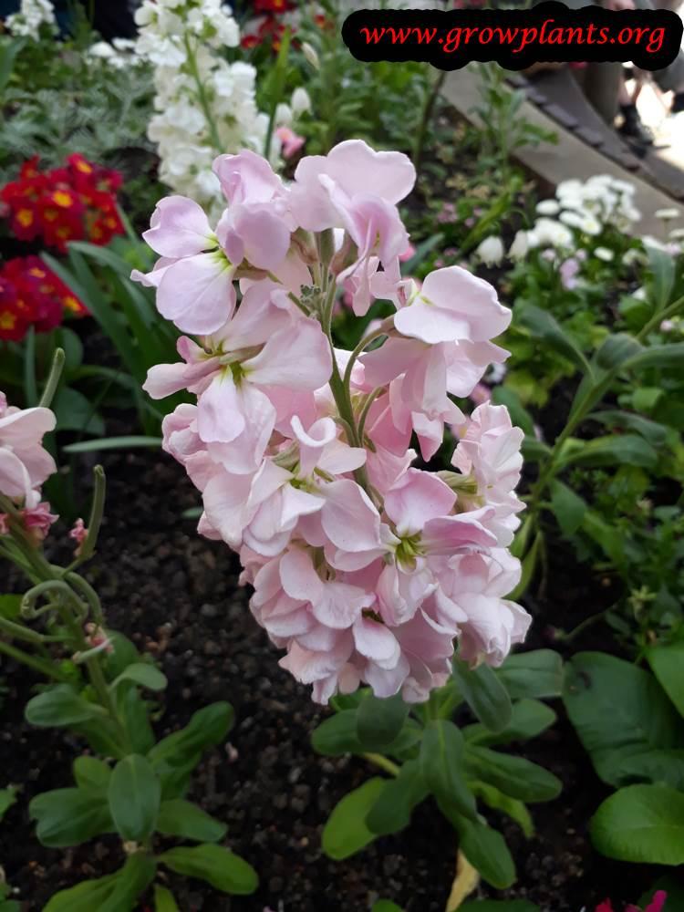 Matthiola incana pink flowers