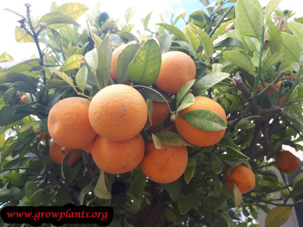 Meiwa kumquat fruits