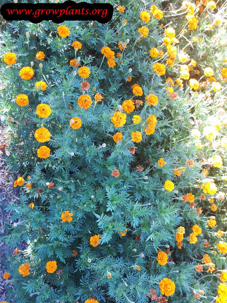 Tagetes erecta plant care