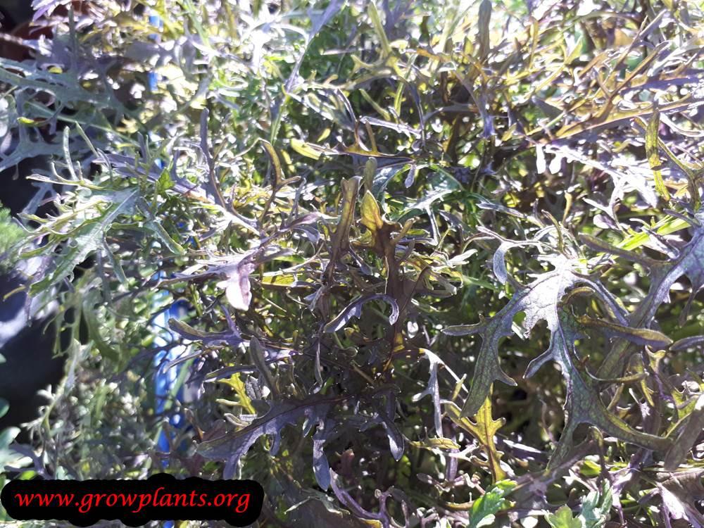 Mizuna plant care