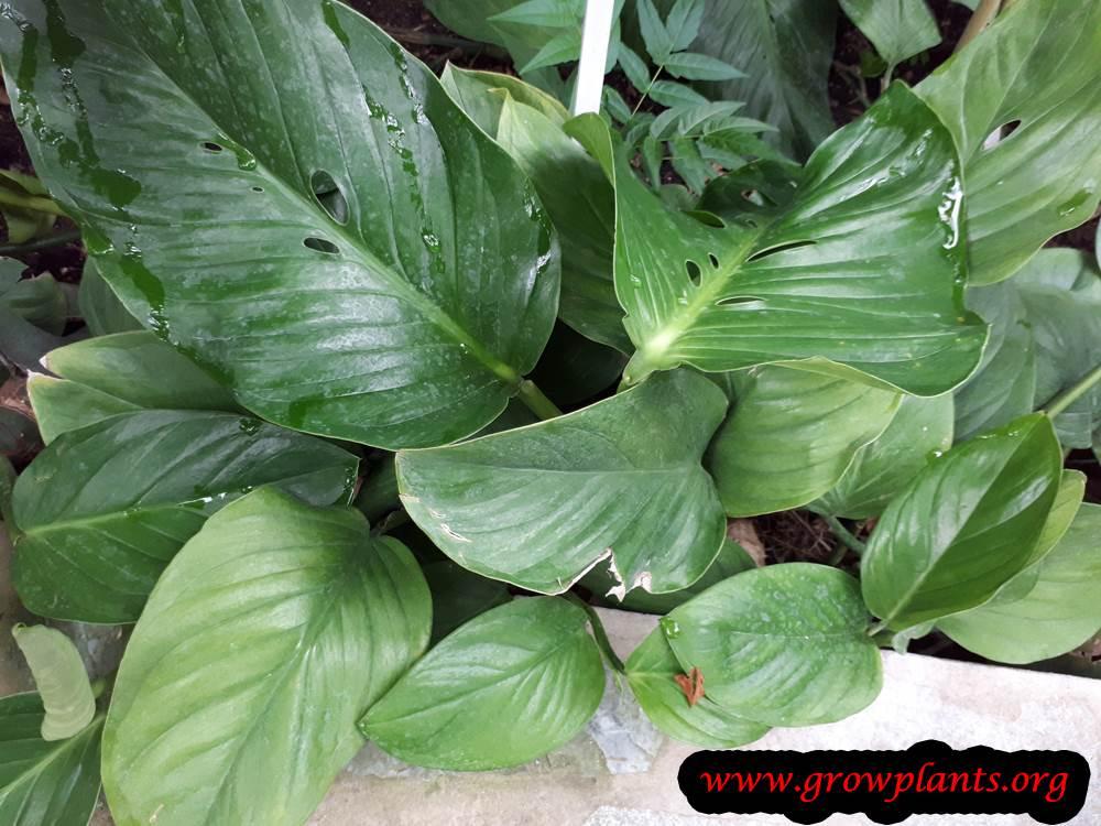 Monstera acuminata plant care