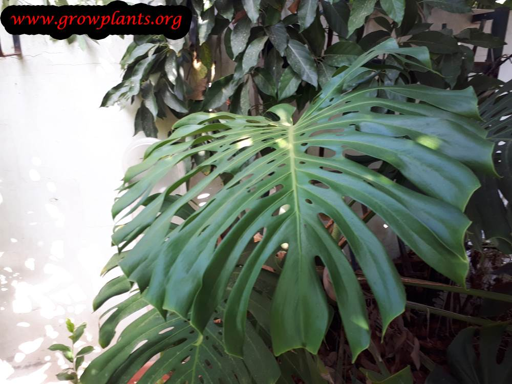 Monstera deliciosa planting seaosn