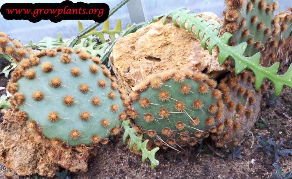 Opuntia engelmannii cactus