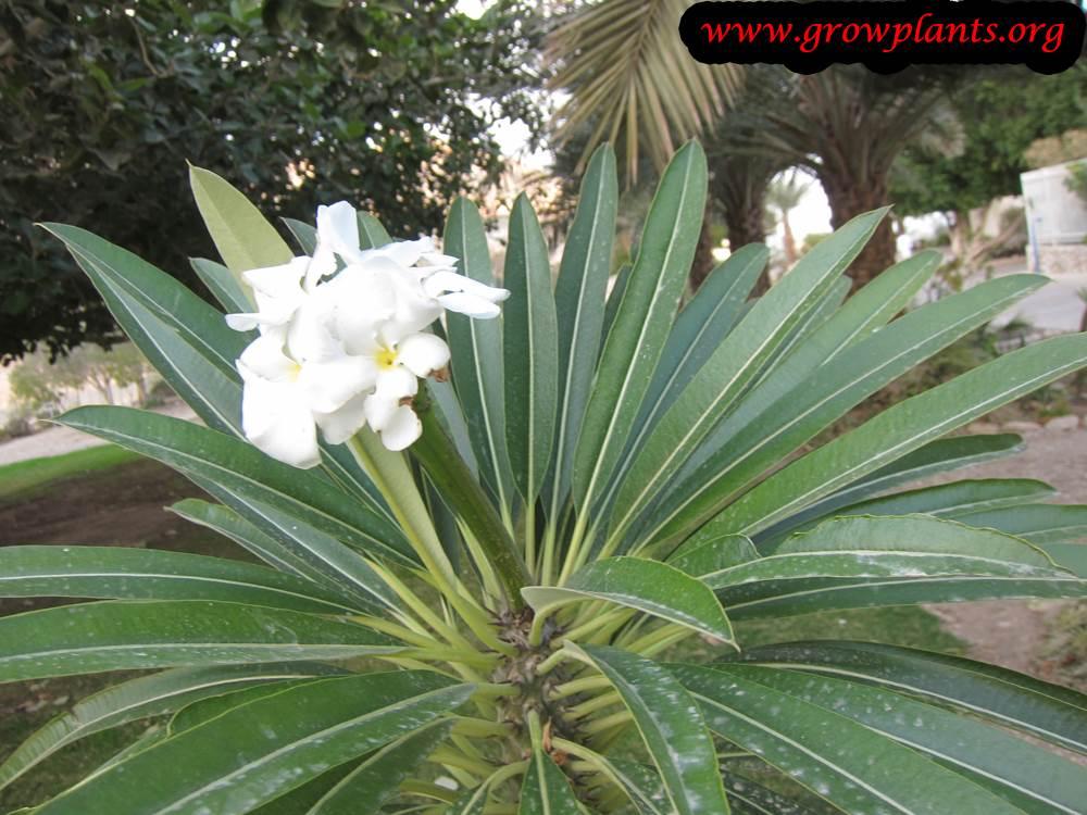 Pachypodium lamerei flowers