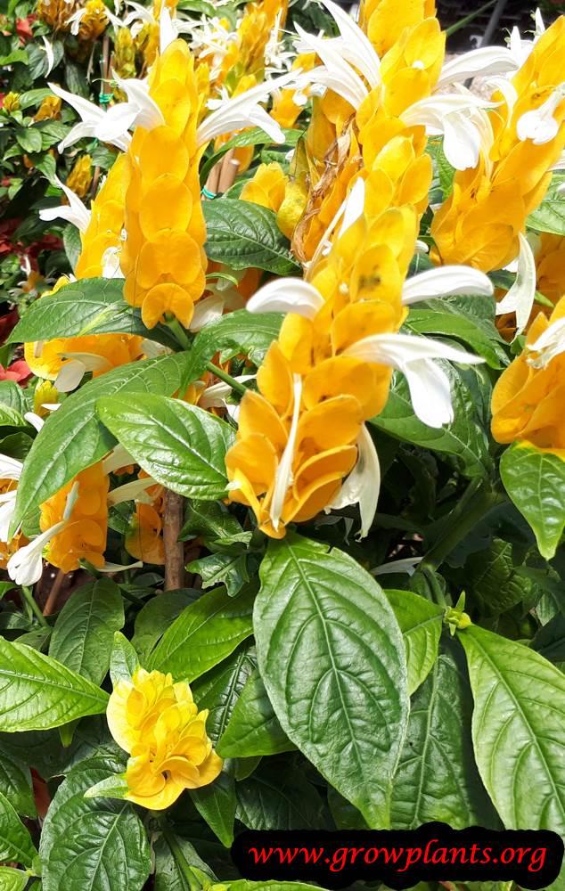 Pachystachys lutea flowers