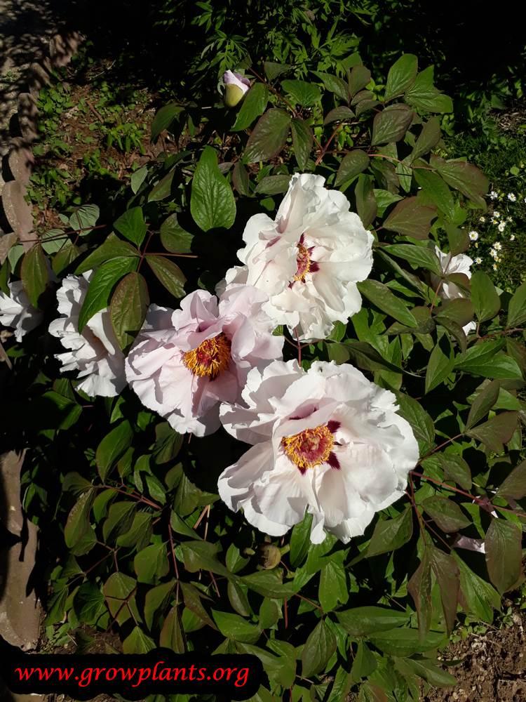 Paeonia rockii flowers
