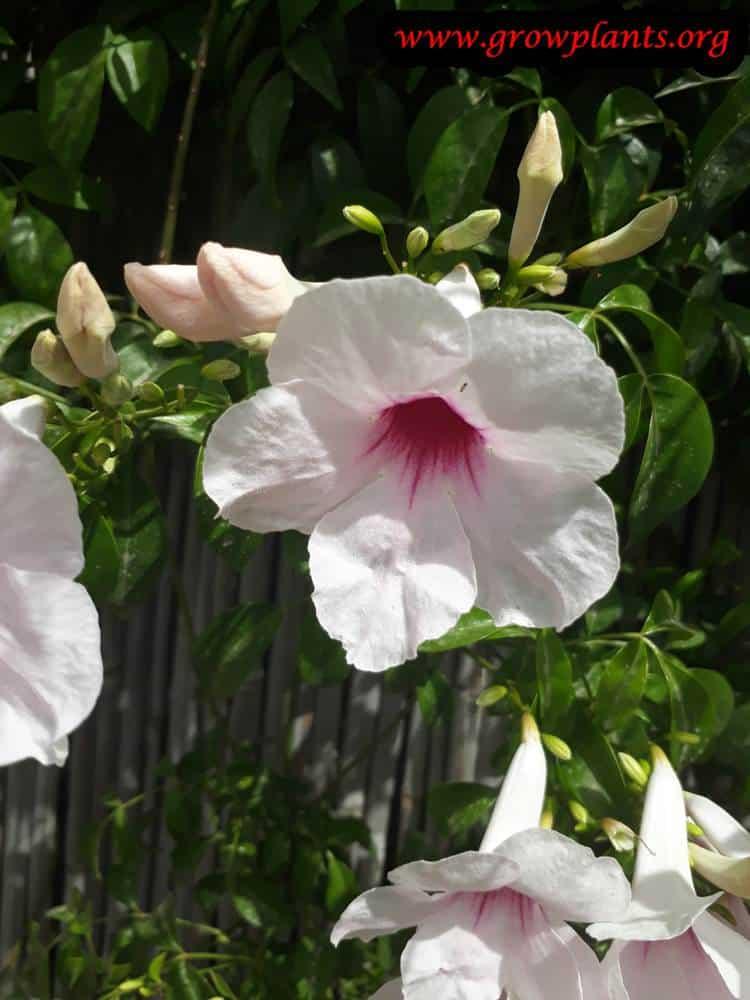 Pandorea jasminoides flower