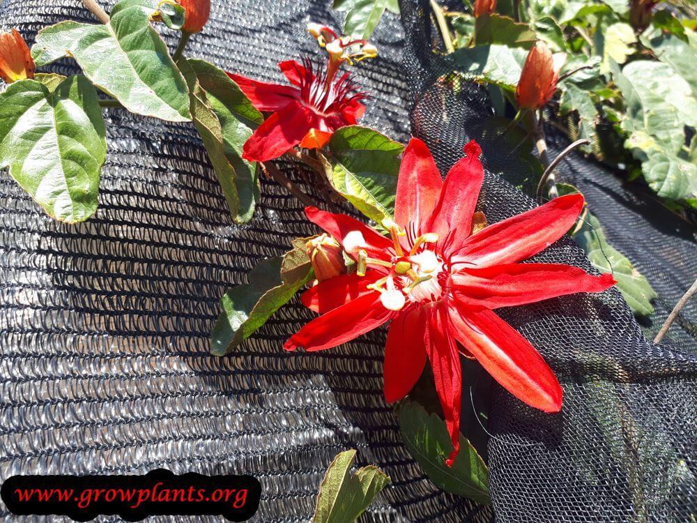 Passiflora racemosa flower