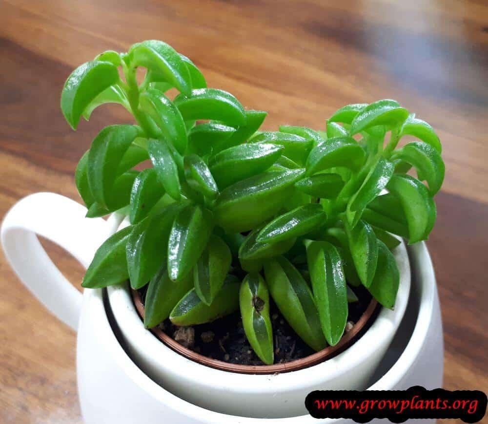 Peperomia dolabriformis plant