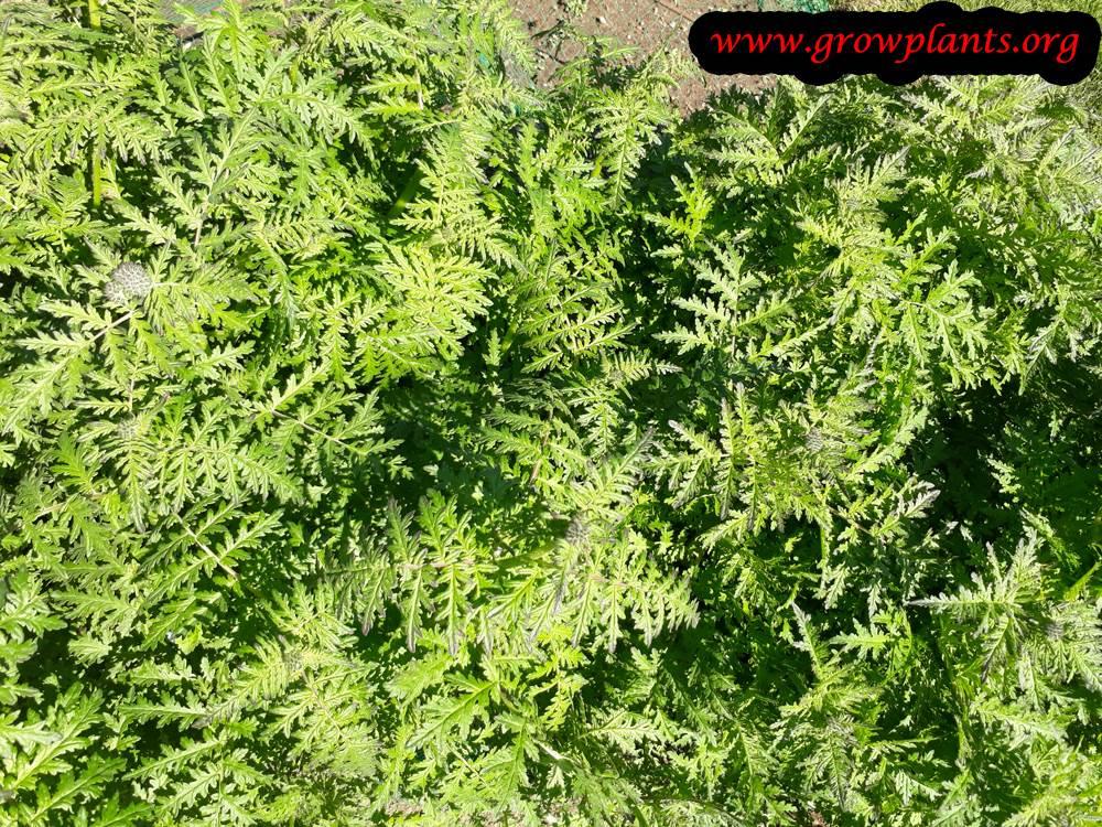 Phacelia tanacetifolia plant care