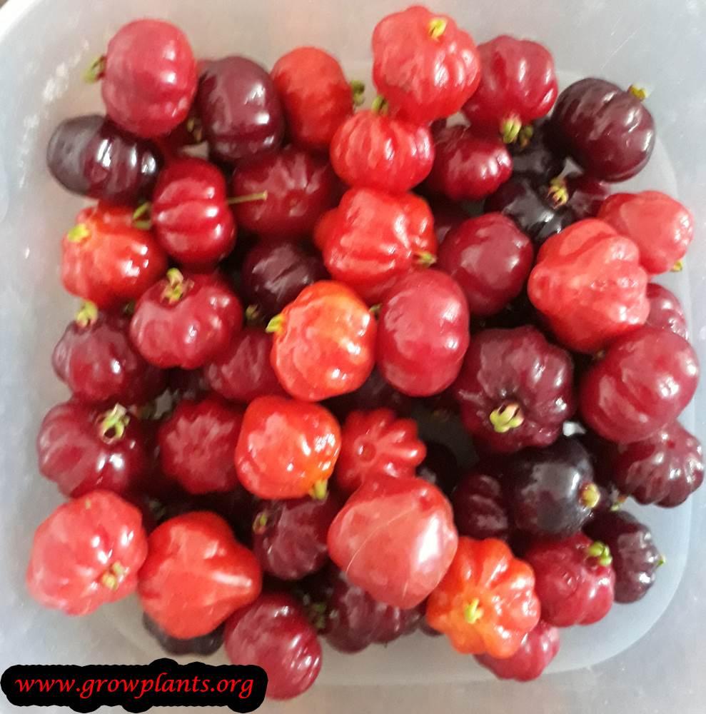 Pitanga pickup fruit