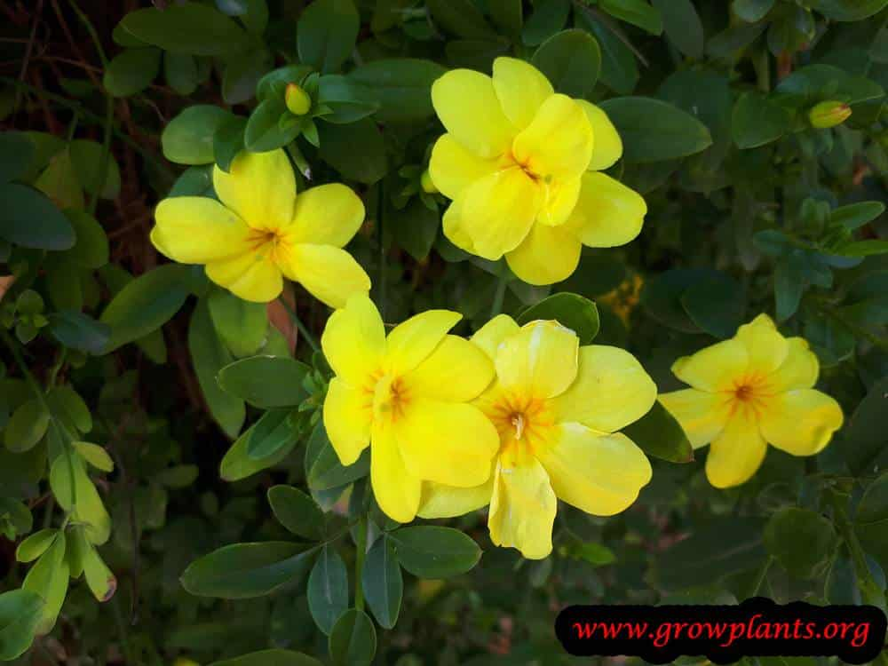 Primrose Jasmine flowers