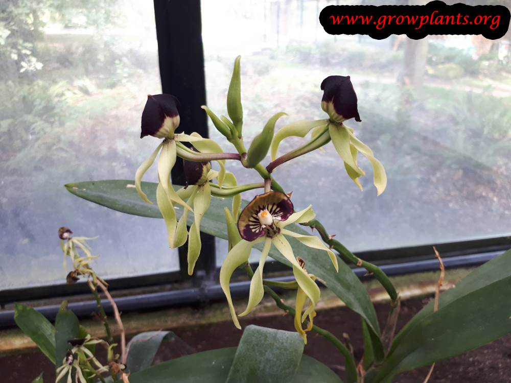 Prosthechea cochleata flower