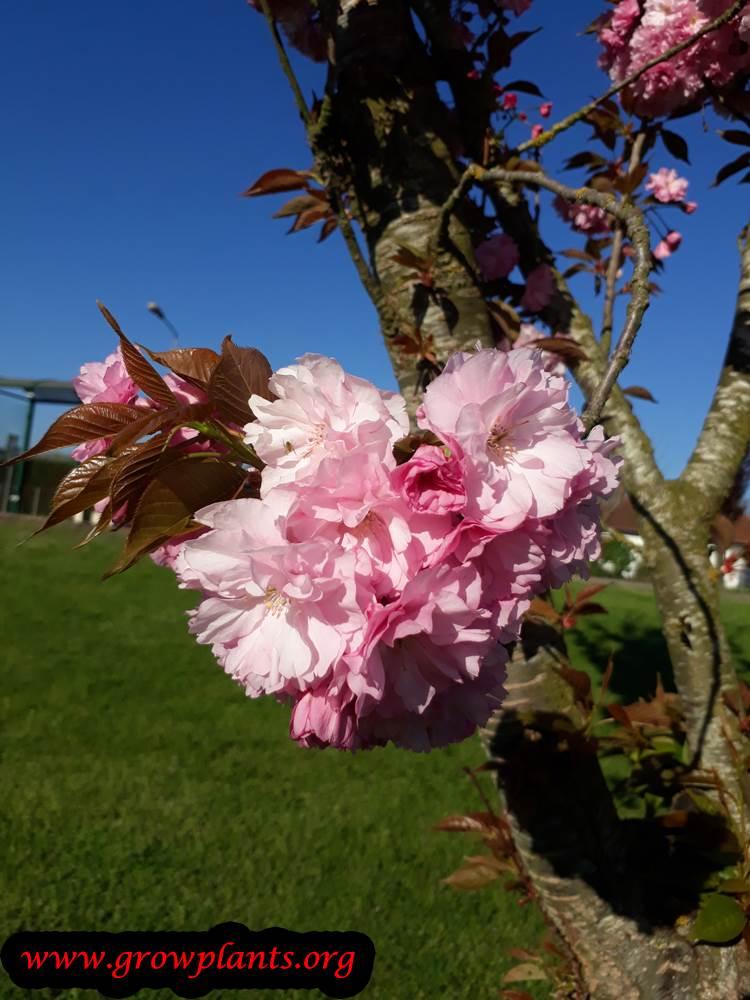 Prunus serrulata flowers