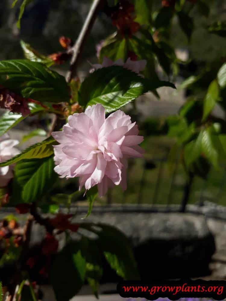 Growing Prunus serrulata flowers