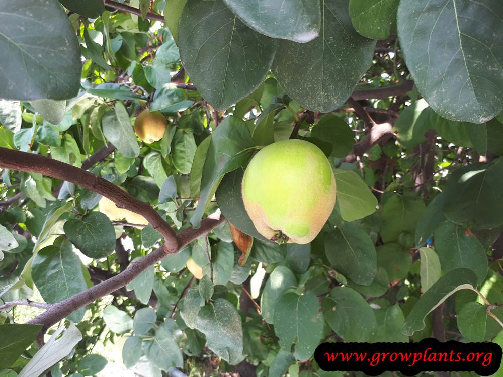 Quince tree harvesting