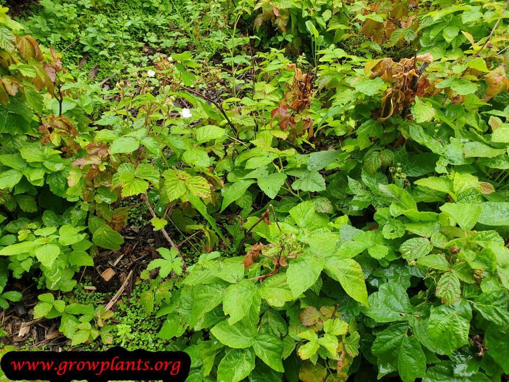 Rubus caesius plant care