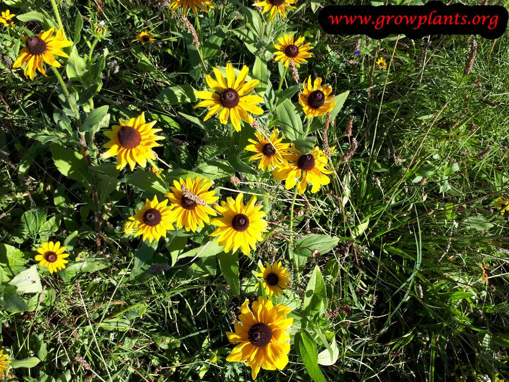 Growing Rudbeckia hirta plant