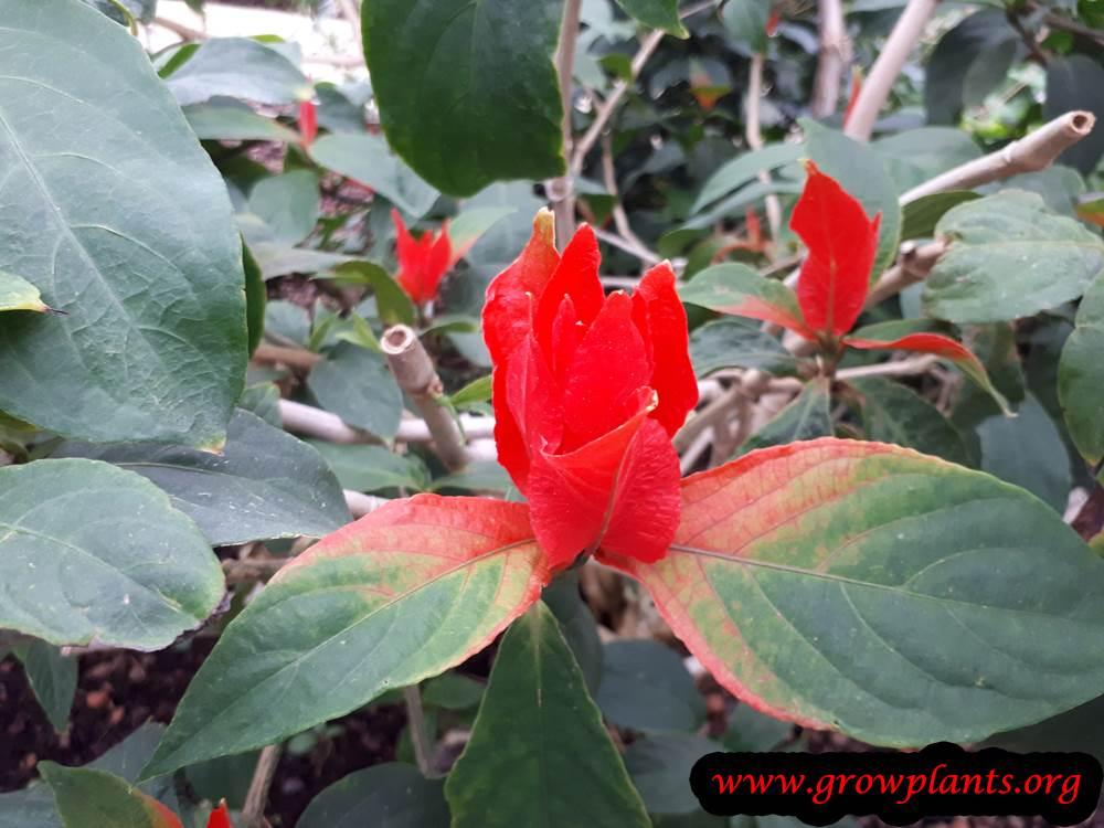Ruellia colorata