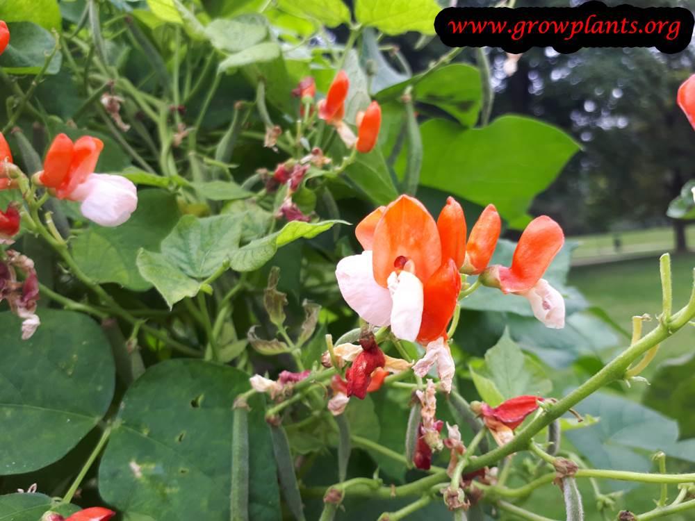 Phaseolus coccineus flowers