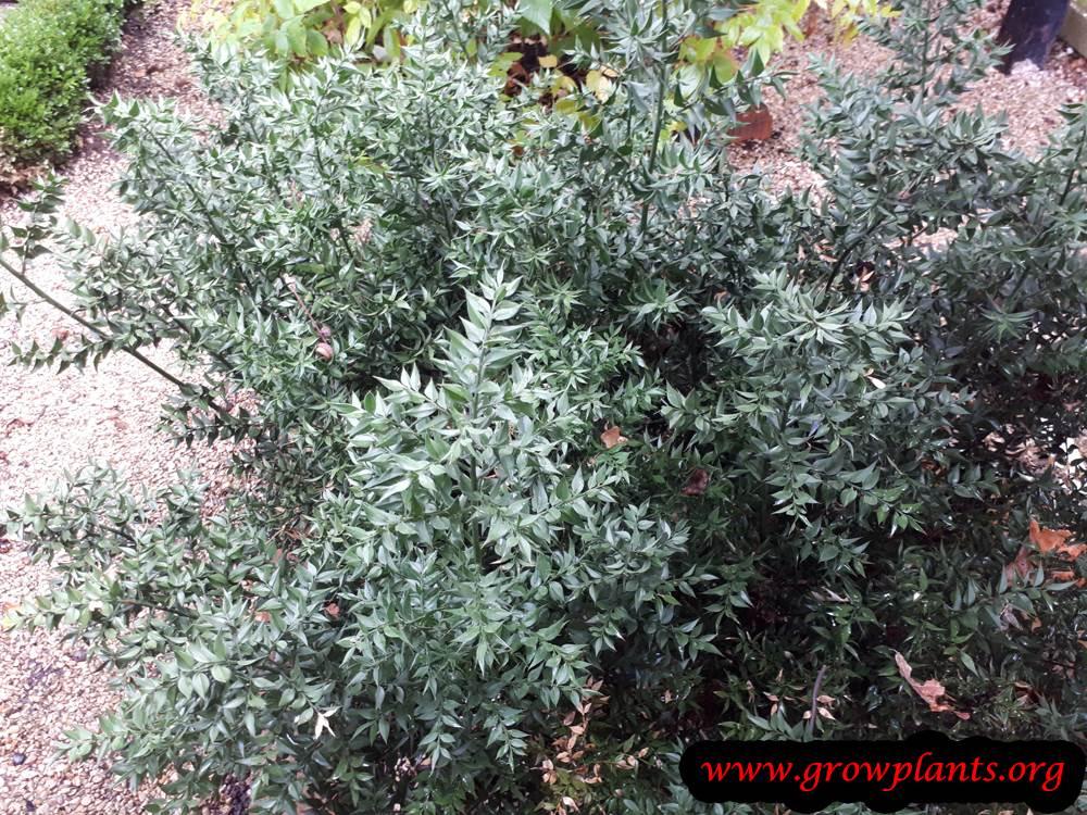 Ruscus aculeatus plant care