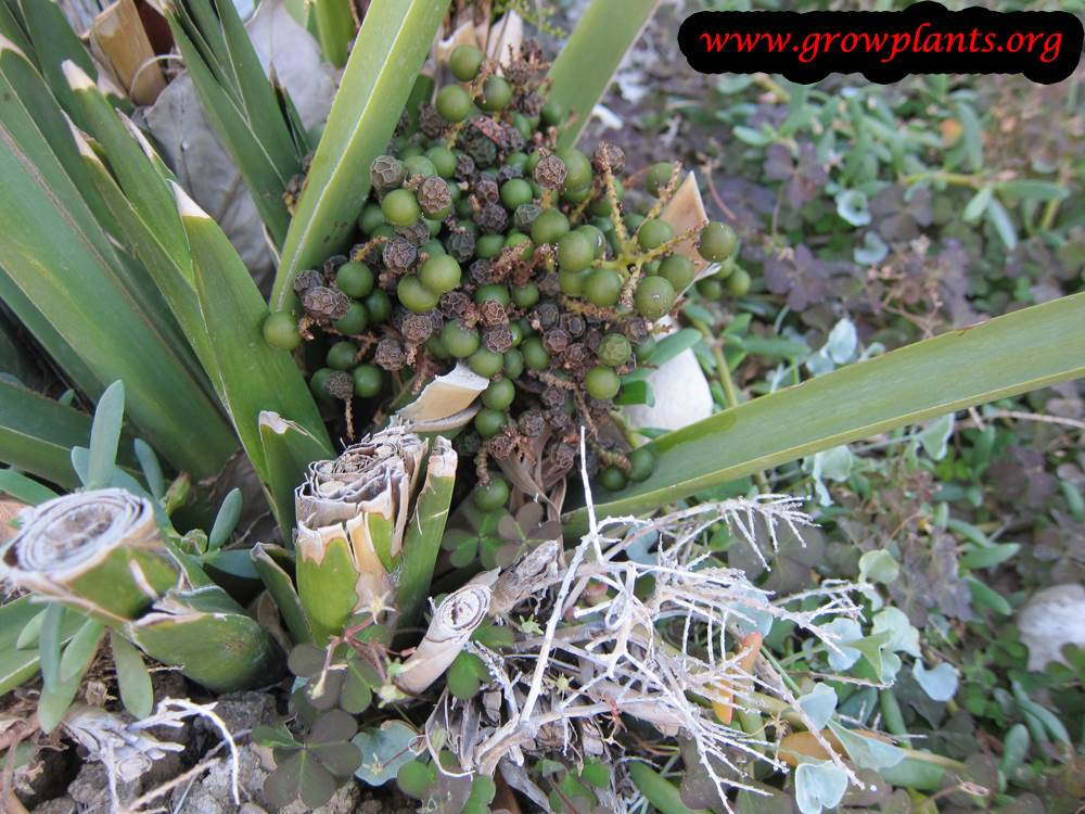 Sabal palmetto fruits