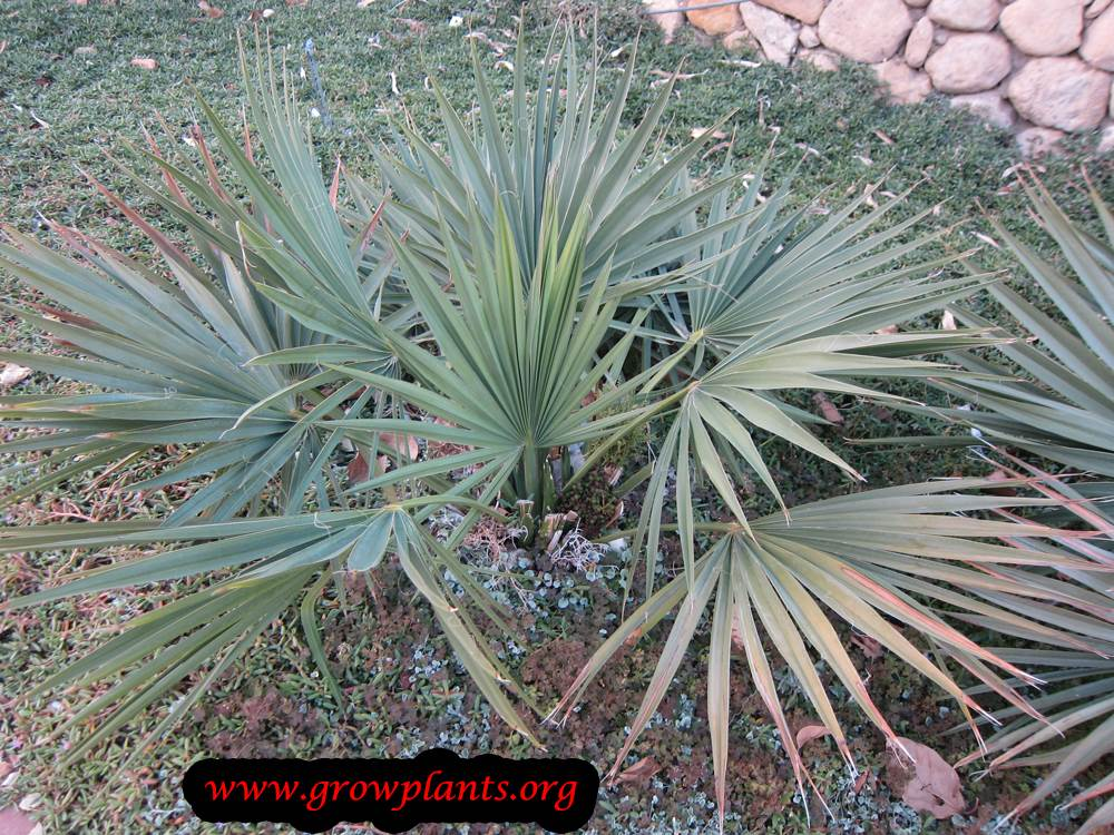 Growing Sabal Palm