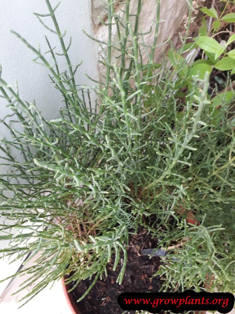 Salicornia europaea plant care