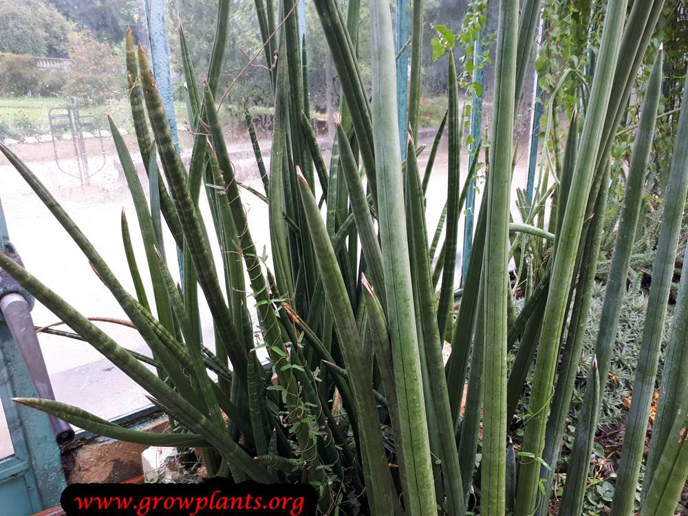 Sansevieria fischeri succulent