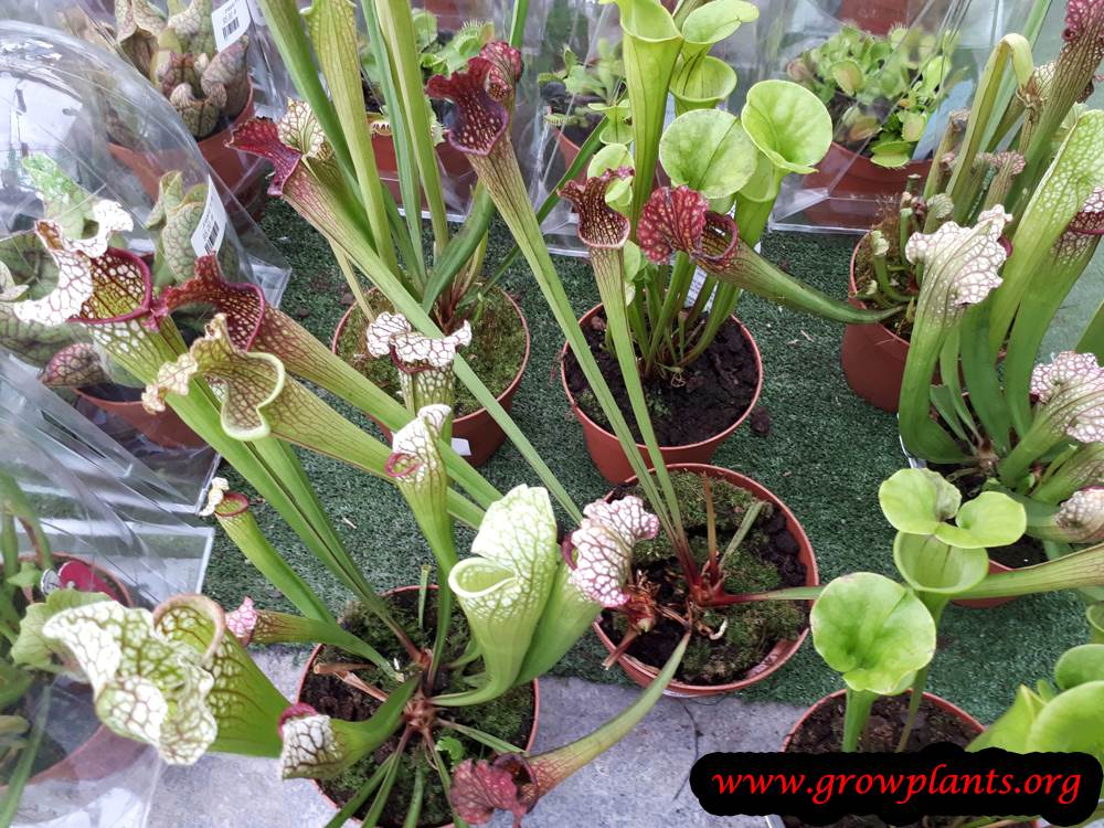 Growing Sarracenia plant