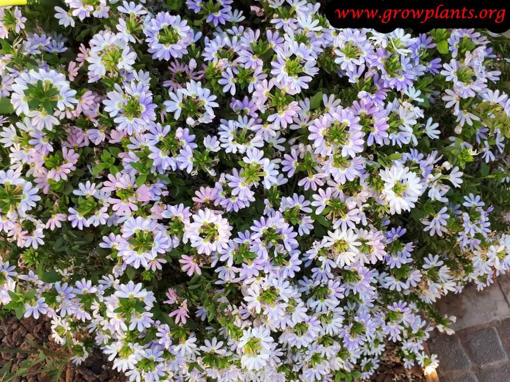 Scaevola aemula plant care