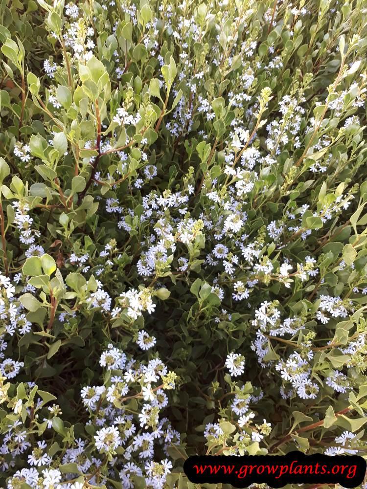 Scaevola taccada plant care