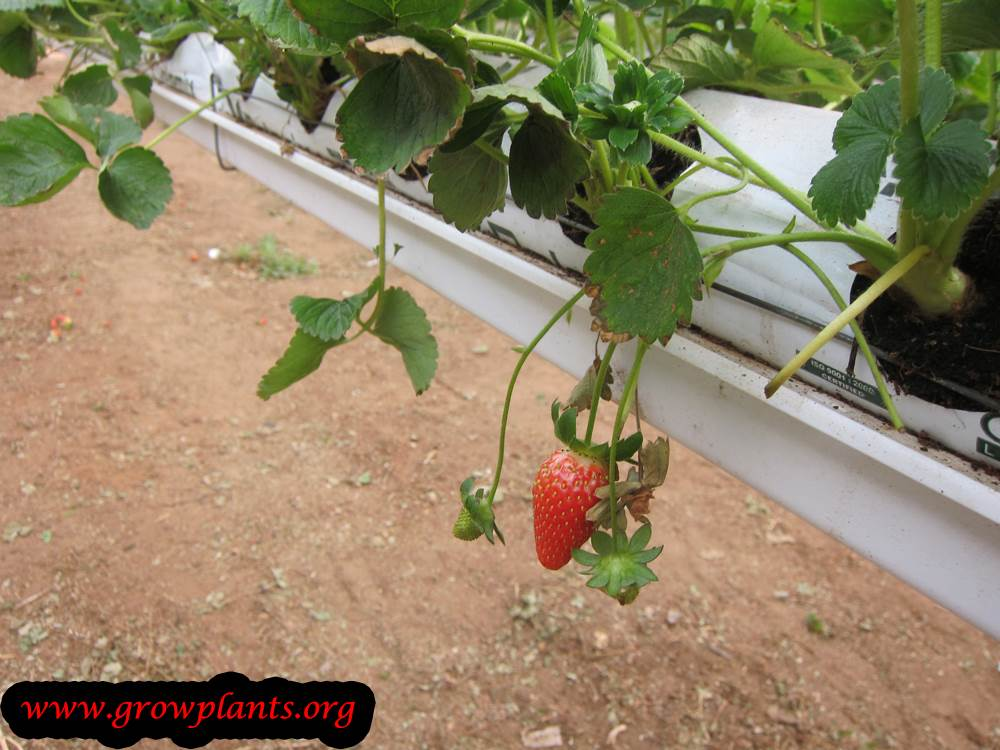 Strawberries fruits season