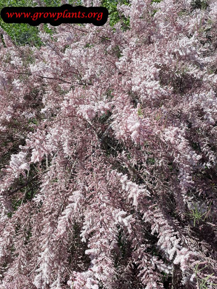 Tamarisk tree pink flowers