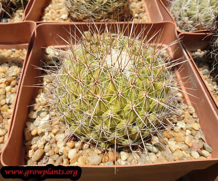 Thelocactus conothelos cactus