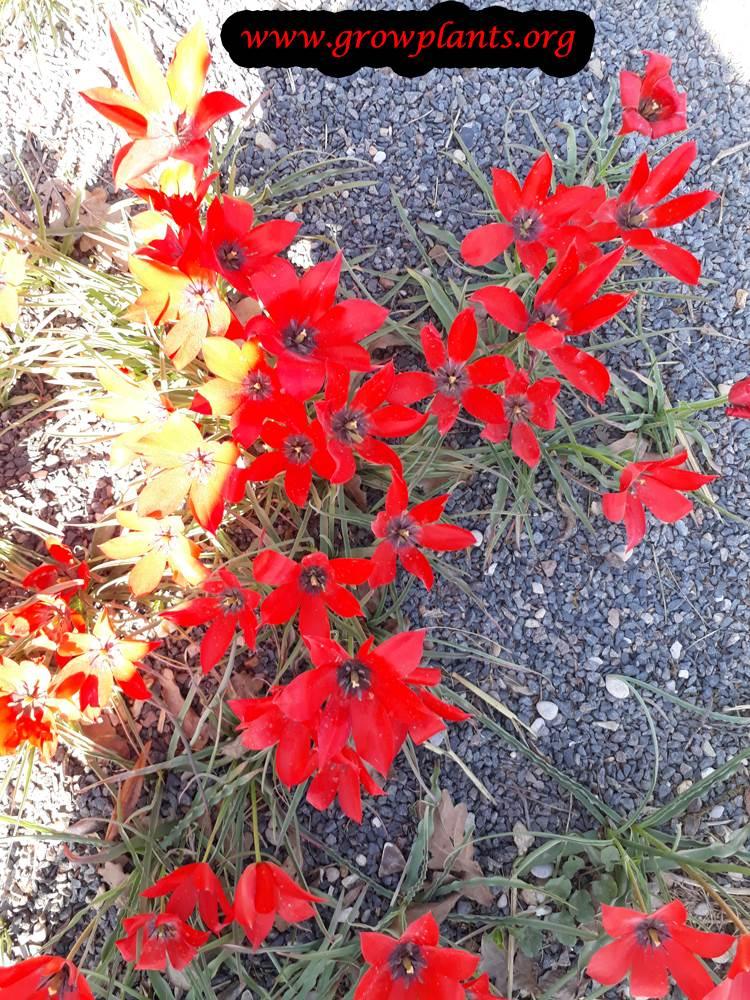 Tulipa linifolia flowers