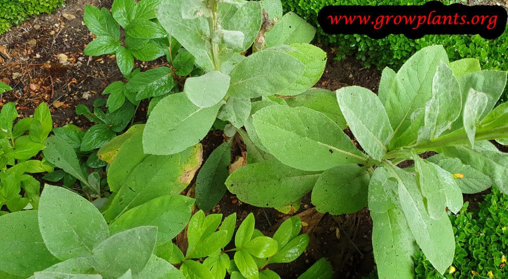 Growing Verbascum thapsus