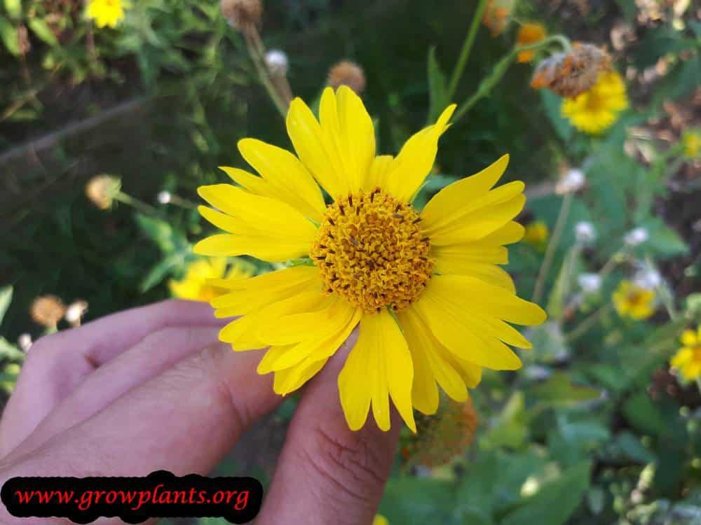 Verbesina encelioides flower