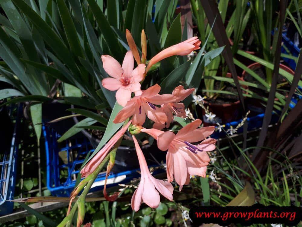 Watsonia plant care