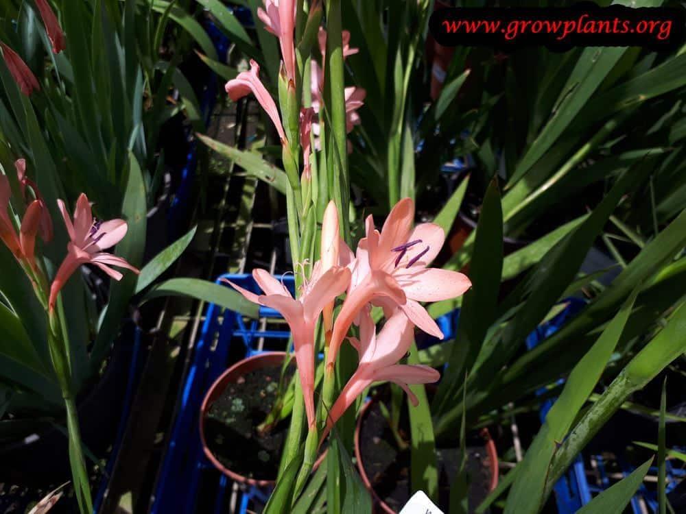 Watsonia plant