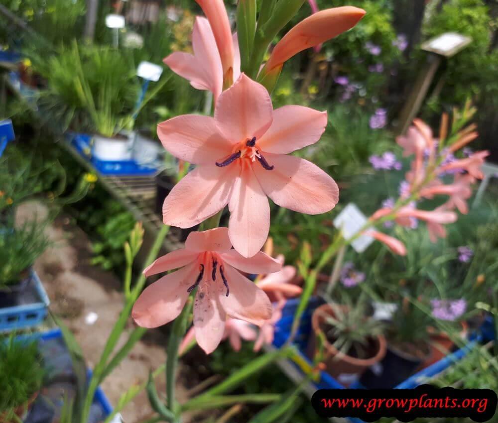 Watsonia flower