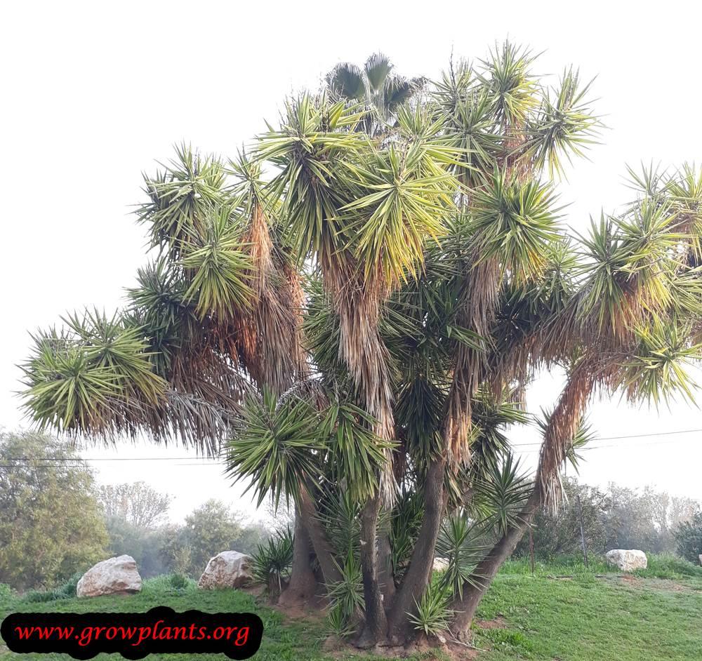 Yucca elephantipes succulent
